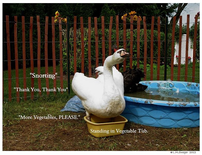 Swan Asking for Vegetables