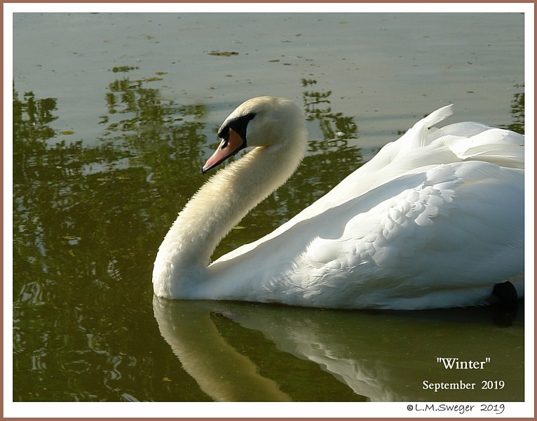 Male Mute Swan Cob Winter
