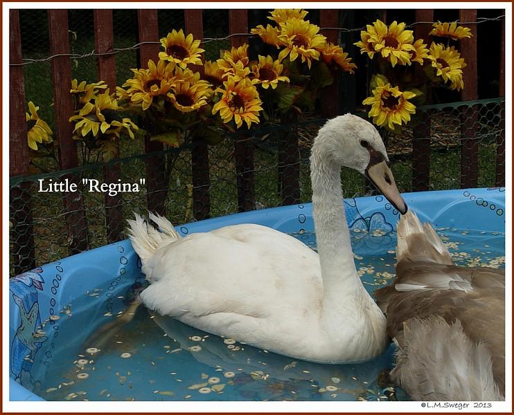 Female Mute Swan Cygnet Regina