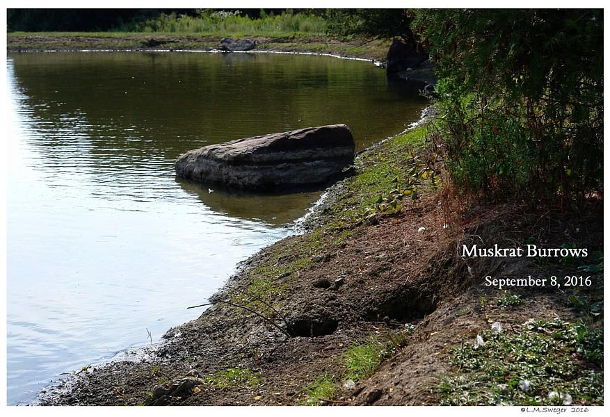 Pond Muskrat Hole
