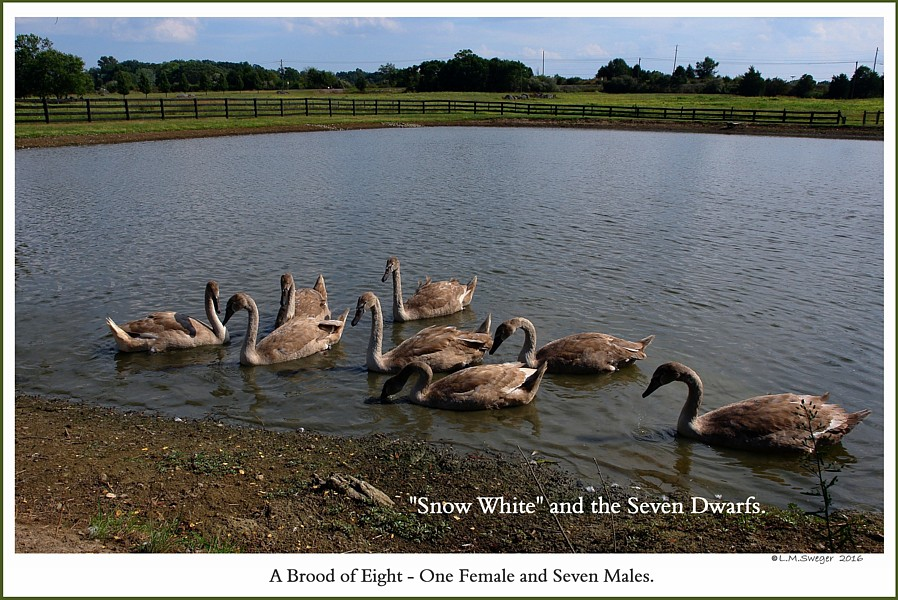 Mute Swan Brood of Cygnets  Show White Seven Dwarfs