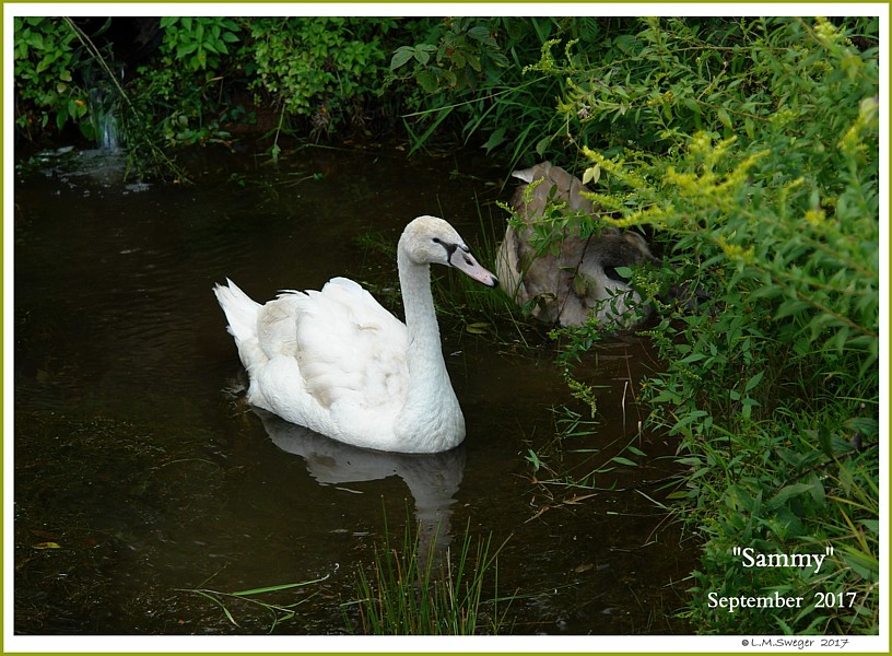 Male Mute Swan Sammy