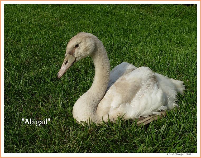 Swan Abigail