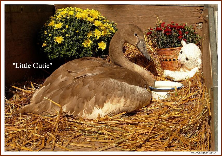 Little Cutie Mute Swan Cygnet
