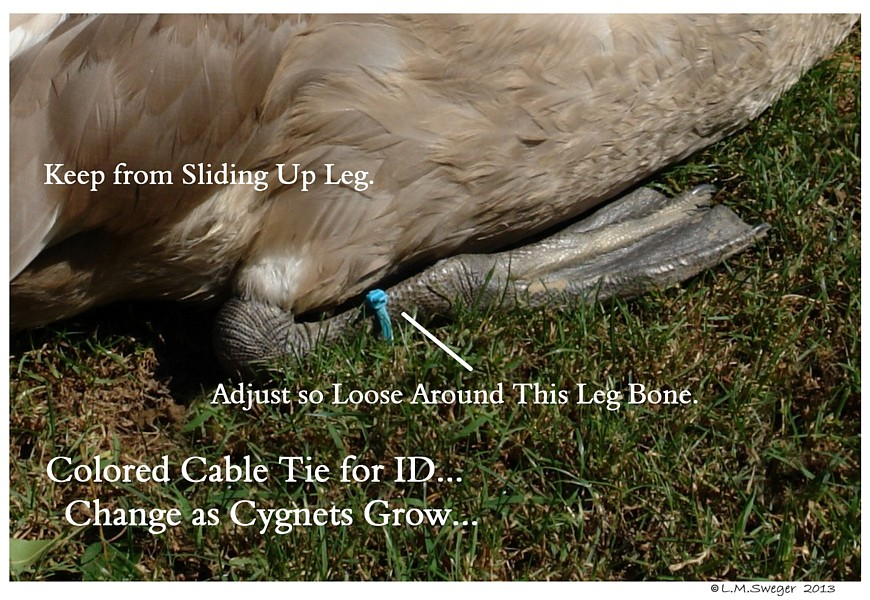 Cable Tie ID Swan Cygnet Swans DNA-Sex Testing