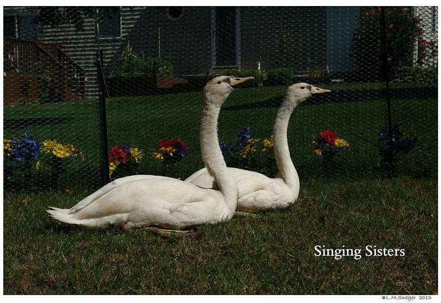 Singing Swan Sisters Swans DNA-Sex Testing