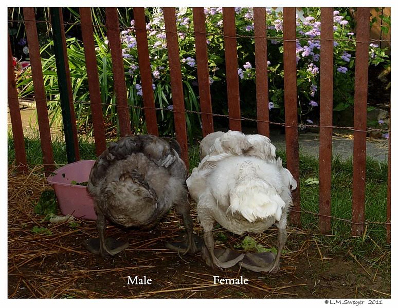 Mute Swan Cygnets Swans DNA-Sex Testing