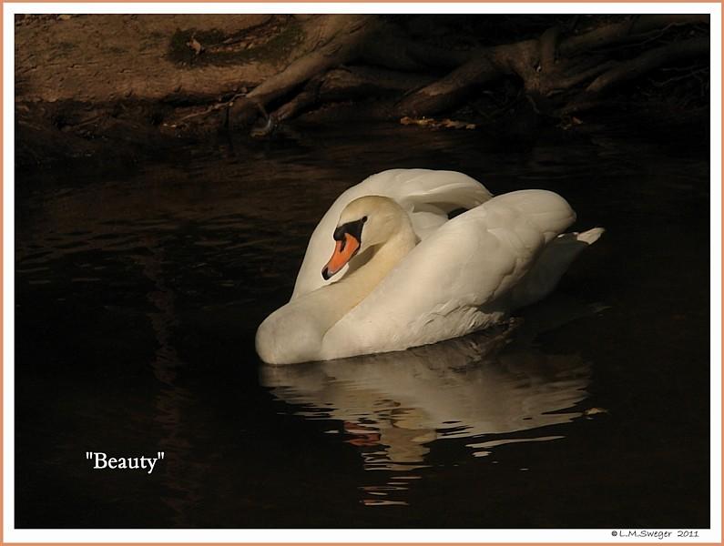 Female Mute Swan Beauty