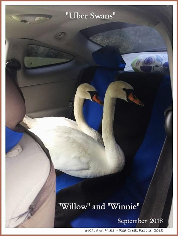 Same Sex Female Swans