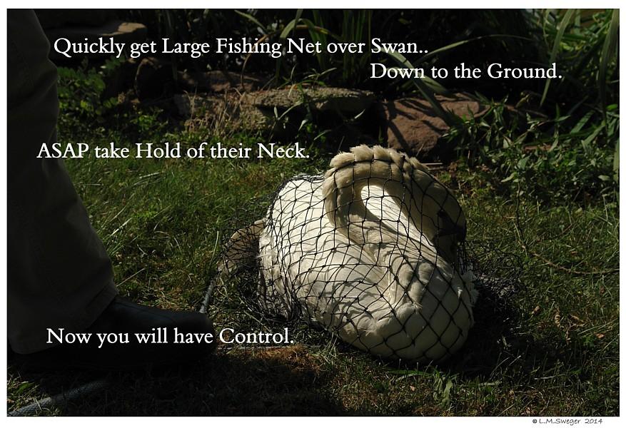 Catching Swan