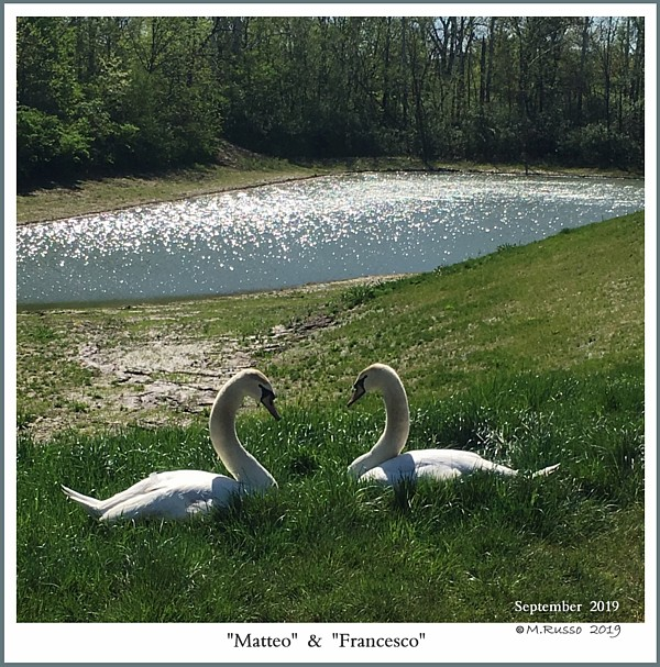 Same Sex Male Mute Swans