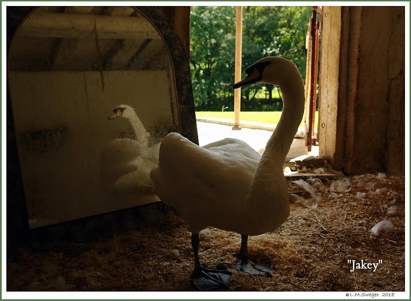 Mute Swan Cob Jakey