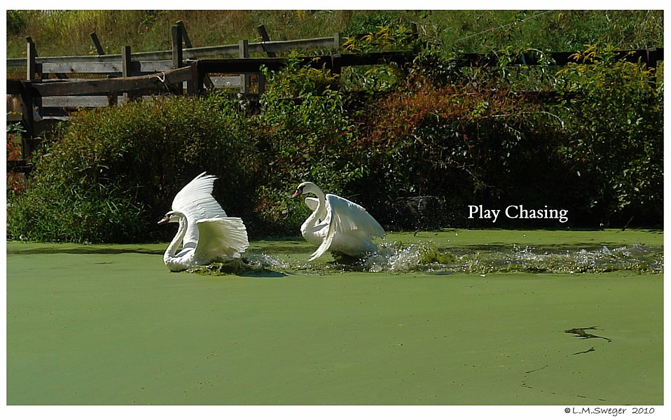 Young Swans Play Chasing