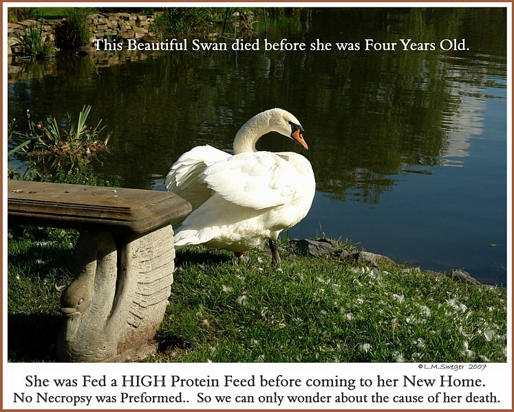 Female Swan Died Captive Mute Swans Feeding Swans