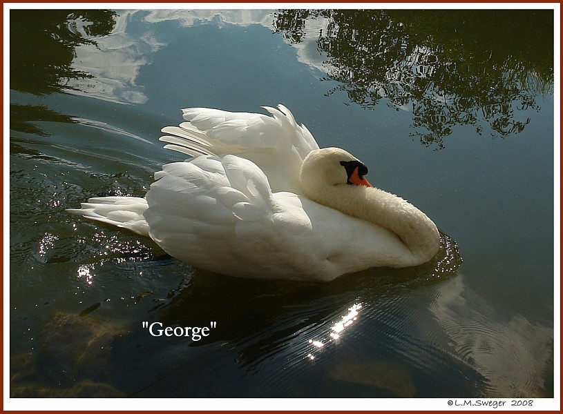 Mute Swan George