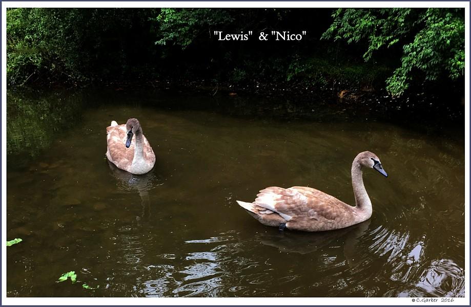 Male Mute Swan Cygnets  Lewis  Nico