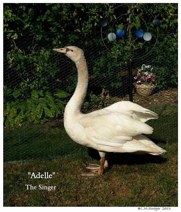 Singing Swan