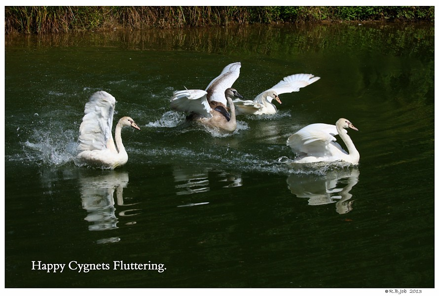 Swan Cygnets Excited Play