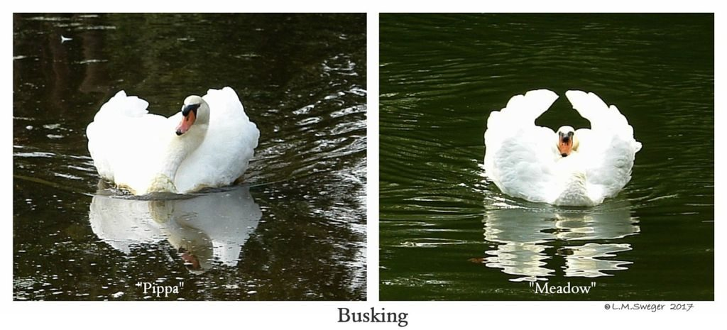 Busking Mute Swans Swans DNA-Sex Testing