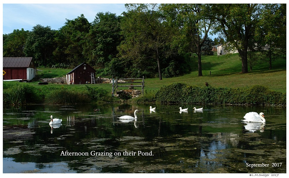 Captive Mute Swans  Feeding Swans