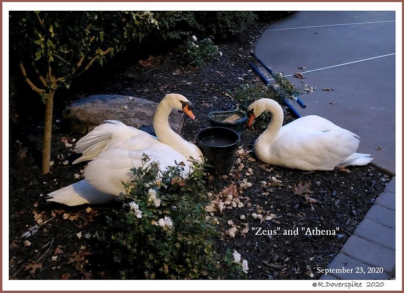 Mute Swan Pair  Zeus  Athena