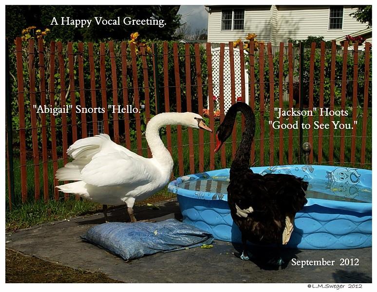 Swans Snort Hello
