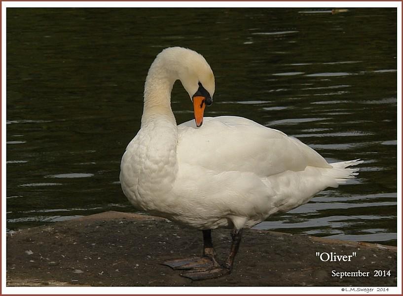 Mature Mute Swan Cob Oliver