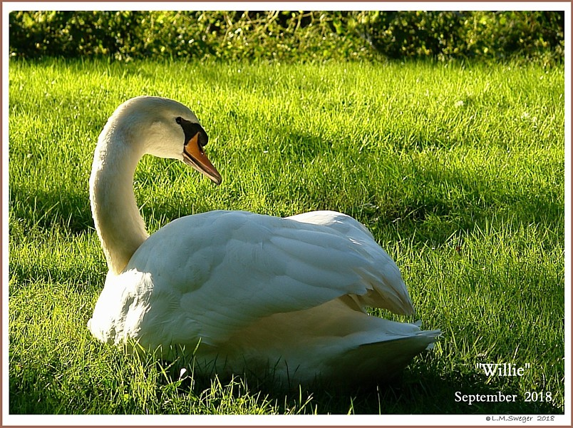 Mute Swan Cob Willie
