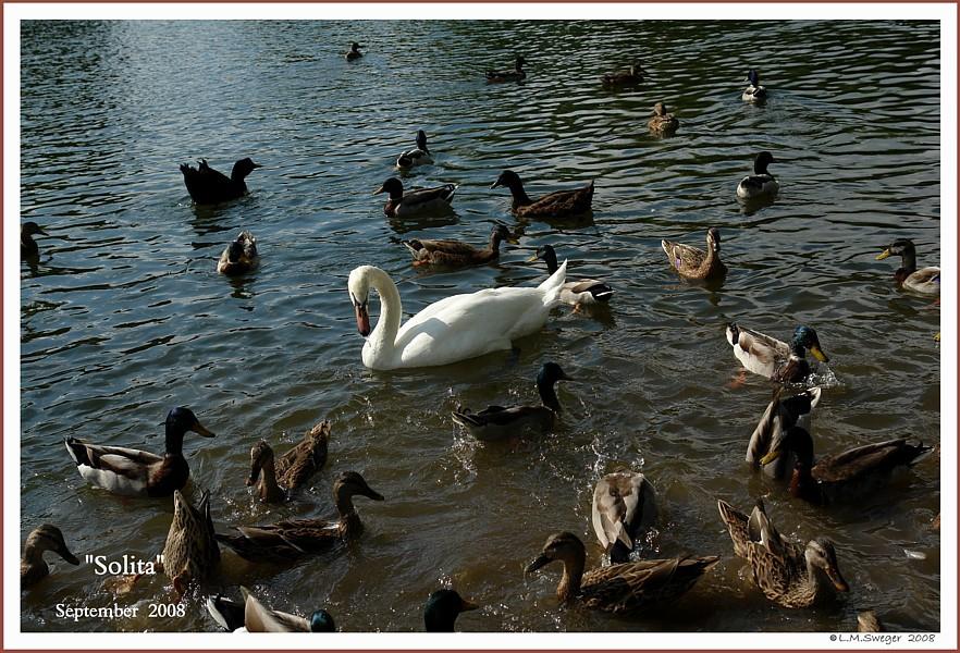 Feral Mute Swan Solita