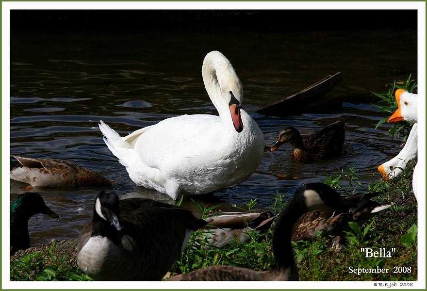 Female Mute Swan Pen Bella