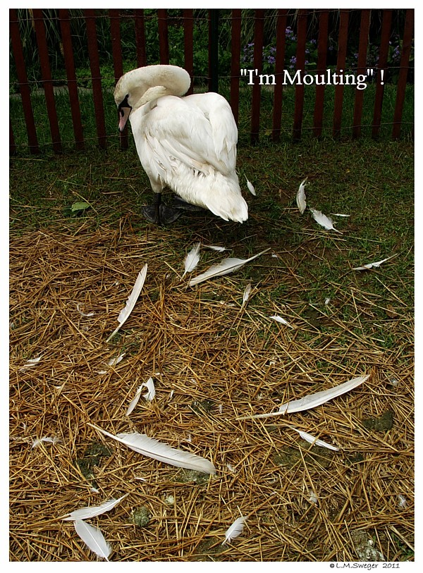 Moulting Swan