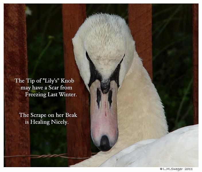 Swan Knob Winter Scar