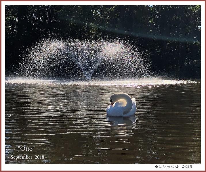 Male Mute Swan Otto