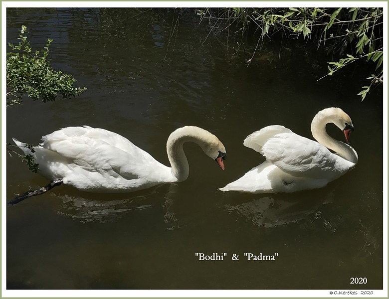 Mute Swans Bodhi  Padma