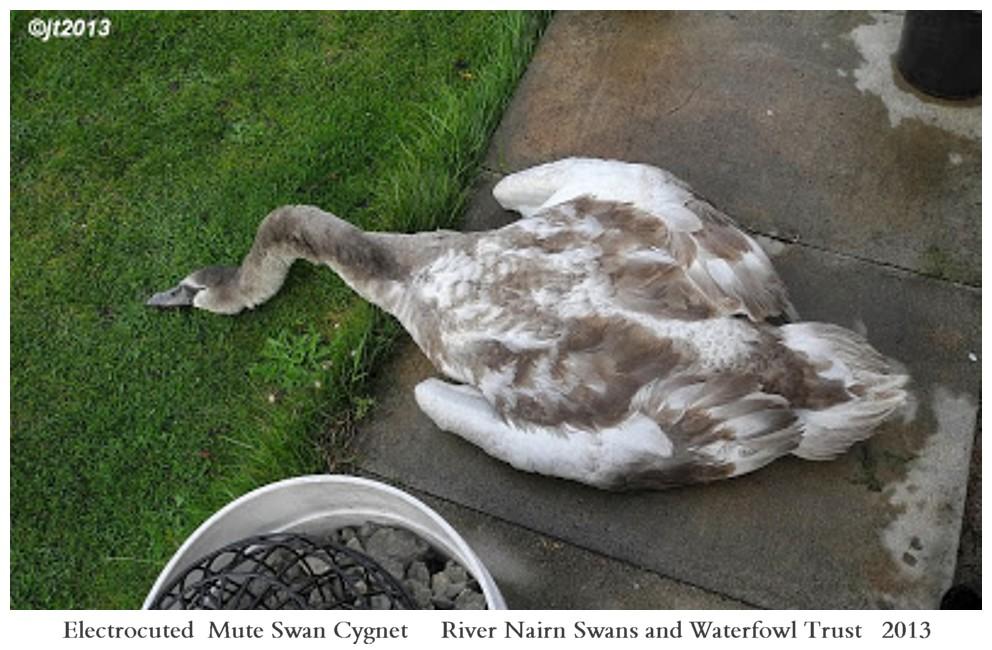 Electrocuted Swan Cygnet