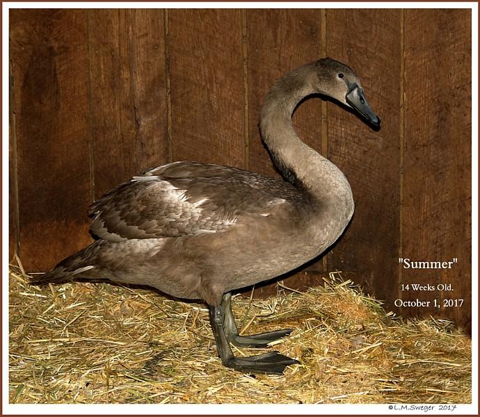 Mute Swan Cygnet Summer