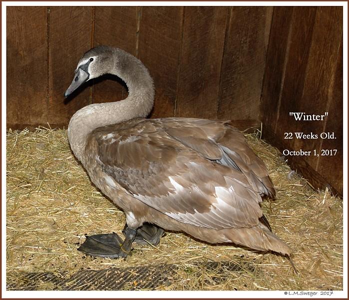 Mute Swan Cygnet Winter