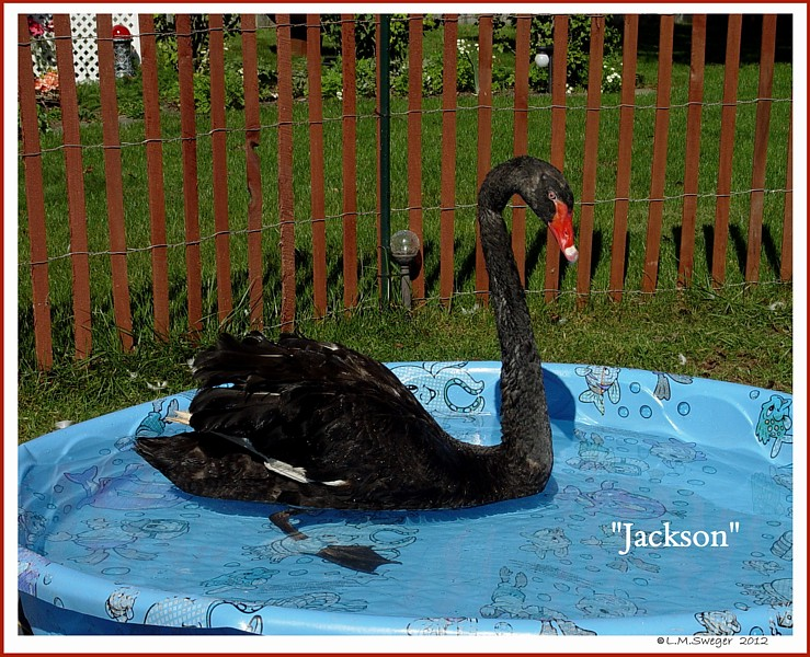 Black Australian Swan Jackson