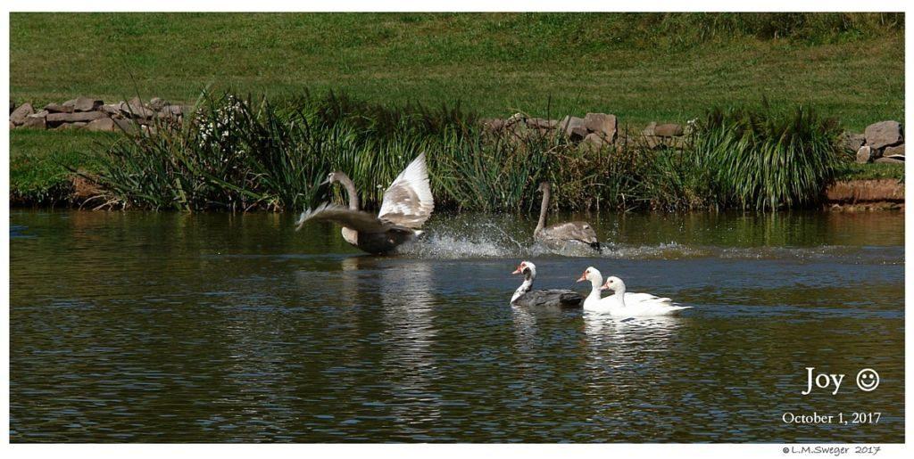 Happy Mute Swan