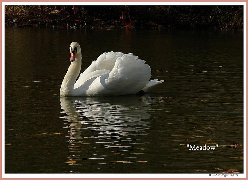 Mute Swan Cob Meadow