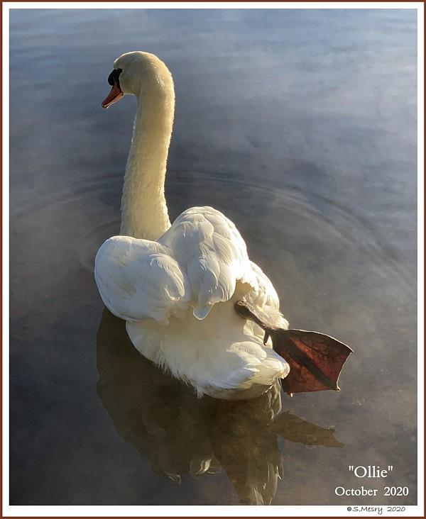 Mute Swan  Ollie