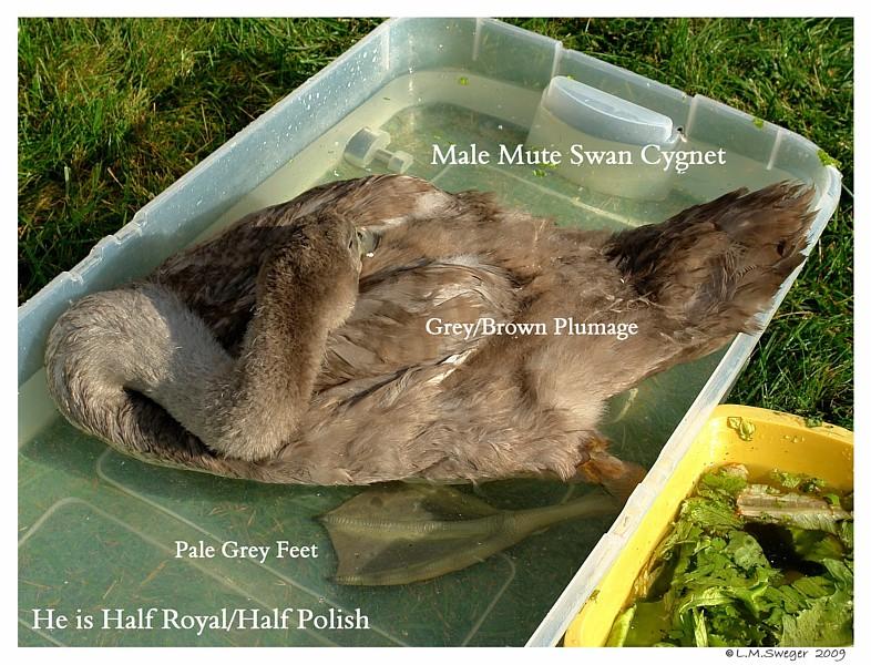 Male Mute Swan Grey Feet