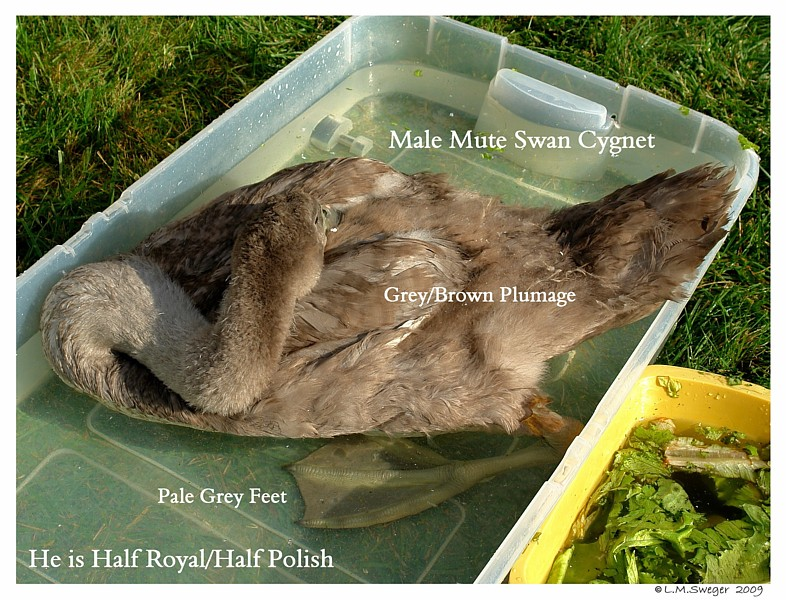 Male Mute Swan Grey Feet Swans DNA-Sex Testing