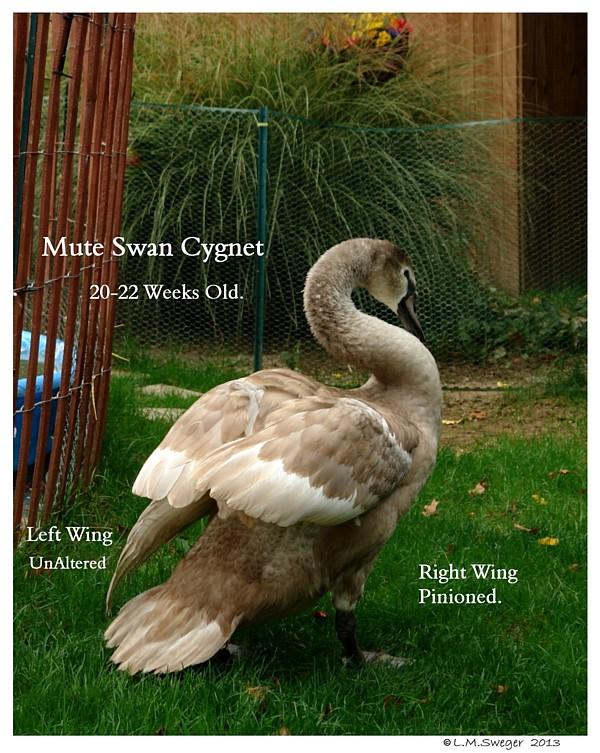 Swan Cygnet Pinioned