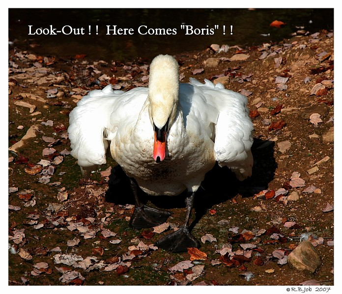 Angry Swan Cob