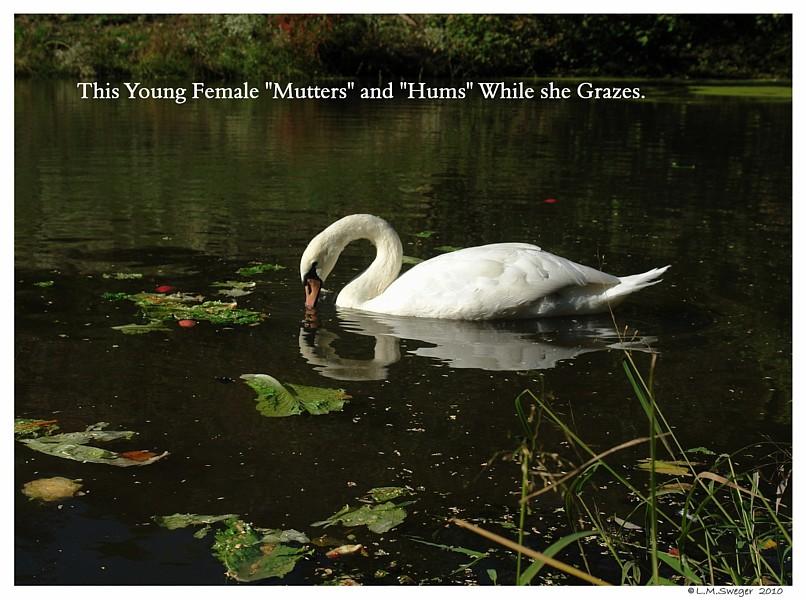 A Muttering Swan