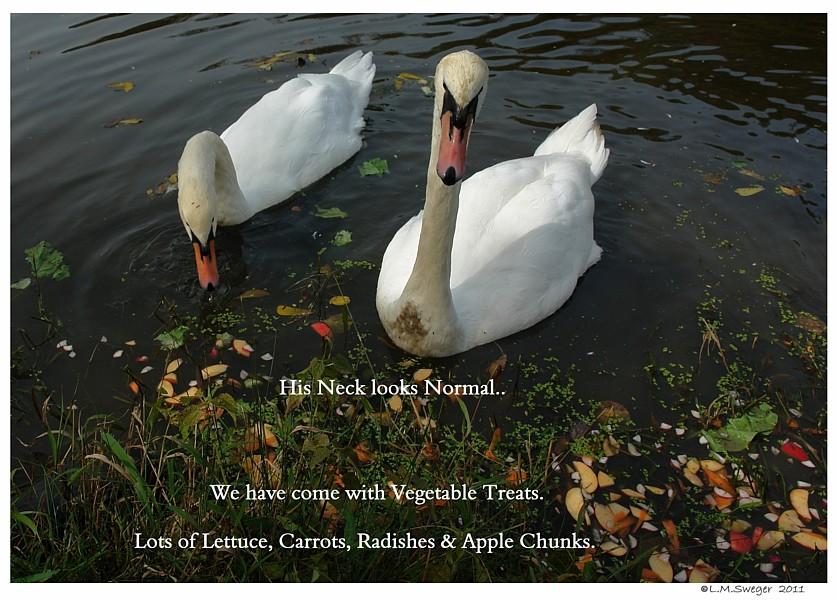 Feeding Swans