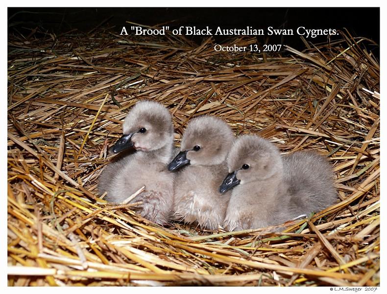 Shelter Black Australian Cygnets