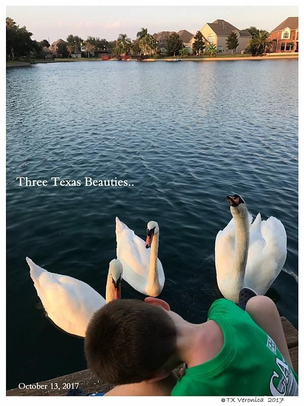 Texas Mute Swans