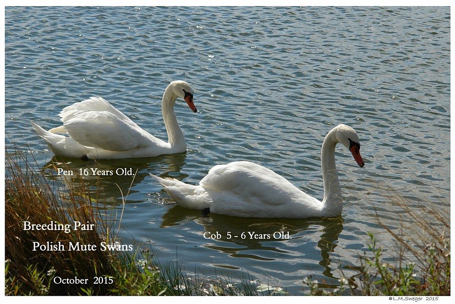 Breeding Polish Swans Swans DNA-Sex Testing
